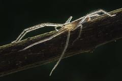 Bhutaniella latissima (Isaac Chiu_TW) Tags: 寬大布丹蛛 蜘蛛 自然 微距 獵食者 bhutaniellalatissima spider natural macro closeup hunter