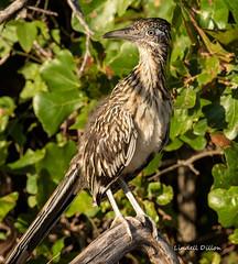 Greater Roadrunner (Lindell Dillon) Tags: greaterroadrunner cuckoo bird birding nature oklahoma wildoklahoma
