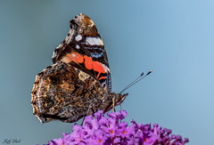 DSC6869  Red Admiral.. (Jeff Lack Wildlife&Nature) Tags: redadmiral butterflies butterfly lepidoptera insects insect wildlife wetlands woodlands wildlifephotography jefflackphotography countryside copse glades grasslands wildflowers flowers nectaring verges heathland hedgerows heathlands heaths moorland marshland marshes meadows moors nature naturephotography nikon macro