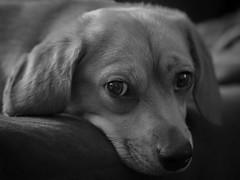 Lifelong Friend (Southern Darlin') Tags: friendship dog puppy family animal pet blackandwhite bw bnw eyes