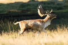 Fallow deer heading for the rut (ejwwest) Tags: