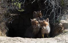 Curious looking into a new world! (Jambo53 ()) Tags: crobertkok redfox rodevos netherlands roofdier predator coastalarea duingebied naturereserve nikond800 vulpesvulpes renardroux vixen cubs young jonkies