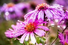 In the garden (Maria Eklind) Tags: dof autumn flowers flower city outdoor depthoffield garden skåne macro dalia slottsträdgården closeup blommor höst malmö sweden skånelän sverige