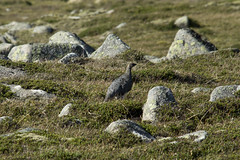 Ptarmigan (steve_whitmarsh) Tags: aberdeenshire scotland scottishhighlands highlands cairngorms tsagairtmor mountain hills animal wildlife birds feathers ptarmigan rock rocks landscape nature topic