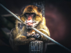 Relaxing 2019 (EBoss Fotografie) Tags: monkey zoo wildlife animal animalplanet primate relaxing cute portrait face tamron100400 canon supershot colors