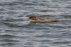 goosander, isokoskelo (agewhite) Tags: fish goosander isokoskelo bird water sea eye