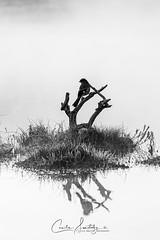 Dawn in Black and White (CecilieSonstebyPhotography) Tags: jay peaceful reflection bw canon norway markiii earlymorning eurasianjay water lake canon5dmarkiii waterdroplets blackandwhite fog dawn may branch