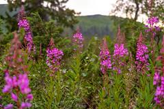 Willowherbs all over (Pernilla Lindblom) Tags: sverige landscape nature sweden laponia natur växtsverige kungsleden summer fjäll vandring hiking fjällvandring outdoors vandra uteliv friluftsliv trekking thekingstrail