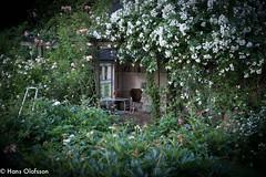 Trädgårdssommar (Hans Olofsson) Tags: skammelstorp garden trädgård lusthus rosor roses