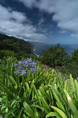 Green Madeira (Sizun Eye) Tags: saojorge madeira nature coastline ocean coast green cliffs sizuneye sony7rm2 sony sonyfe1635mmf28gm 1635mm agapanthus agapanthe lilyofthenile ribeirafunda
