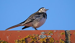 On the Tiles (Nigel B2010) Tags: pied wagtail sun roof tiles bird nature wildlife coast september norfolk wells next sea colour blue red yellow