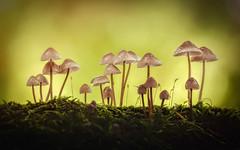 Fungi Family (alowlandr) Tags: fungus mushroom macro autumn fall golden growing season yellow closeup