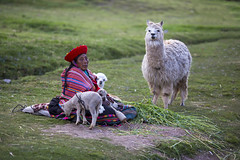 Sacred Valley life on the way to Pisac, Peru (Tim van Woensel) Tags: inca lama alpaca pisac cusco cuzco peru travel south america grass colorful green sacred valley urubamba