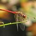 Autumn meadowhawk, male - foty!   (Sympetrum vicinum)
