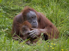 Channel Islands - Motherly Love (JimP (in Sarnia)) Tags: channel islands jersey durrell wildlife park sumatran orangutan baby love
