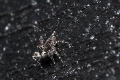 Roof Spider - _TNY_2320 (Calle Söderberg) Tags: macro canon canon5dmkii canoneos5dmarkii canon5dmarkii 5d2 flash meike mk300 glassdiffusor canonef100mmf28usmmacro raynox dcr250 arachnida araneae spider spindel spinne jumpingspider hoppspindel springspinne saltie jumper sitticus terebratus laduhoppspindel blackbackground f22