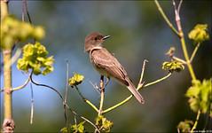 Eastern Phoebe (Sayornis phoebe) (Steve Arena) Tags: easternphoebe sayornisphoebe westborowildlifemanagementarea westborowma flycatcher bird birds birding westborough westboro massachusetts 2019 worcestercounty nikon d750