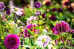 In the garden (Maria Eklind) Tags: garden höst skåne malmö slottsträdgården flower sweden outdoor blommor flowers city autumn skånelän sverige