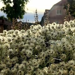 Small, White Flowers (halleluja2014) Tags: whiteflowers smallwhite eternell summer september falun sensommar vallmansgatan