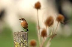 Stonechat and Teazel (billywhiz07) Tags: teazel bird uk autumn migration lea valley herts farm land stonechat