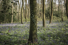 (aimz_durrant) Tags: spring bluebell bluebells plants green greenery woods woodland slindon slindonwood sussex bluebellwood tree trees ivy flowers 1400sec f28 iso100 30mm