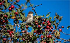 Eastern Phoebe (Sayornis phoebe) (Steve Arena) Tags: easternphoebe sayornisphoebe heirloomharvest heirloomharvestcsa flycatcher bird birds birding westborough westboro massachusetts 2019 worcestercounty nikon d750