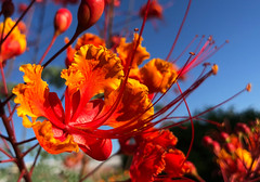 The Glow (oybay©) Tags: mexicanbirdofparadise mexican bird of paradise flower flora fiori blumen arizona spring sky macro orange red yellow backyard bloom bokeh awesome blossoms fantastic