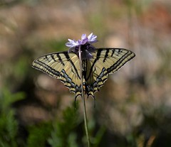 Swallowtail (rlt64) Tags: butterflies swallowtail insects nature yosemite
