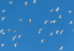 Flock of Corellas take to the Sky (Merrillie) Tags: flock spring waterfront australia birds parrots newsouthwales springtime wildlife trees water flying corellas animals woywoy channel many bay mangroves fauna