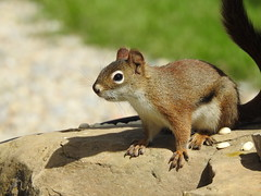 DSCN7658 (pamfromcalgary) Tags: animal rodent redsquirrel pamhawkes southernalberta