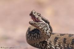 Vipera latastei (Fernando_Iglesias) Tags: snake viper vipera adder venom venomous scales latastei vibora hocicuda herping herps reptil reptiles serpiente