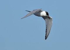 Common Tern, Multnomah Co., OR_3726(1) (Patterns and Light) Tags: 2019 oregon sternahirundo sterna hirundo broughtonbeach portland bird graceful fall migrant