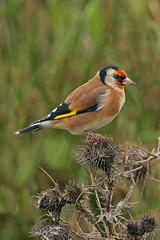 goldfinch (DODO 1959) Tags: wildlife goldfinch nature avian birds fauna finch outdoor animal thistles canon 100400mmmk2 7dmk2 carmarthenshire wales llanelli wwt