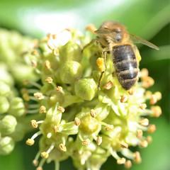 honey bee on ivy (conall..) Tags: nikon afs nikkor f18g lens 50mm prime primelens nikonafsnikkorf18g closeup raynox dcr250 macro county down tullynacree nw551041 annacloy field northernireland bee honeybee apis mellifera apismellifera pollination flower pollen load pollenload colour yellow desenfoque outoffocus narrow dof selective focus square squareformat