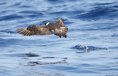 Pomarine Jaeger May 21, 2019 Gulf Stream - Offshore Hatteras, NC (Kate E Sutherland) Tags: pomarinejaeger hatteras nc gulfstream