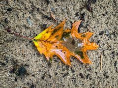 Autumn Leaf on the beach (mswan777) Tags: outdoor nature detail autumn leaf tree oak orange yellow sand beach water wet rain apple iphone iphoneography mobile bridgman michigan texture season