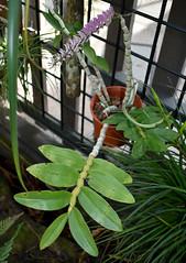 Dendrobium secundum, Flecker Botanic Garden, Cairns, QLD, 28/09/19 (Russell Cumming) Tags: plant dendrobium dendrobiumsecundum orchidaceae fleckerbotanicgarden cairnsbotanicgarden cairns queensland