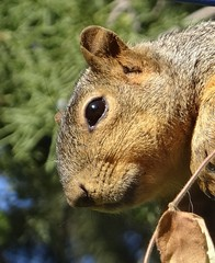 Squirrel (EcoSnake) Tags: squirrels easternfoxsquirrel wildlife fall october idahofishandgame naturecenter