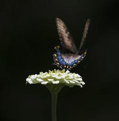 Leaving (PZ Sunrays) Tags: butterly nature brooksidegardens blackwhite maryland ngysaex