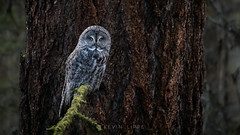 Great Grey Owl (Crisp Image Photography) Tags: greatgreyowl owl birds oldgrowthforest raptor bc canada wildlife wildlifephotography nature naturephotography nikon birdsofbc birdphotography birdsofprey kevinlippe strixnebulosa