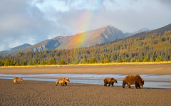 "Ranibow's End  3I9201 (Dr DAD (Daniel A D'Auria MD)) Tags: ""brownbears"" ""brownbearcubs"" ""bears"" cubs nature wildlife mammals predators ""livingwithbears"" grizzly grizzlies ""coastalbrownbears"" alaska ""lakeclarknationalpark"" ""danielad'auriamd"" ""drdadbooks"" ""children'swildlifebooksbydanielad'auriamd"" ""july2017"" ""grandtetonnationalpark"" ""gtnp"" ""bearsofwyoming"" ""grizzlybears"" ""september2017"" kenai ""kenaipeninsula"" ""august2018"" ""sheltercreekcamp"" ""silversalmoncreeklodge"" august2019"" ""september2019"""