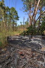 Carolina Pigmy Rattlesnake (Mike D. Martin) Tags: carolinapigmyrattlesnake pigmyrattlesnake rattlesnake snake reptile nature wildlife animal environment habitat sistrurus sistrurusmiliarius sistrurusmiliariusmiliarius