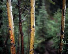Pic0001 (exposurecontemplation.wordpress.com) Tags: jasper alberta canada pentax 6x7 105mm f24 fuji provia 100 film 120