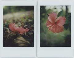 admirable (breeze.kaze) Tags: instantfilm fujiinstaxminifilm mintinstantflextl70 flower hibiscus ev fallen f8 lateafternoon blooming closeuplens autumn south