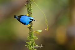 mielero-pata-amarilla_NGR7385 (ninograngetto@hotmail.com) Tags: birds nikon naturaleza d5 costa rica