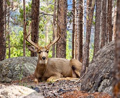 Wounded and Resting (Great and Small Photography) Tags: wounded deer muledeer outdoors rmnp rockymountainnationalpark nationalpark colorado coloradowildlife wildlife animal coloradocolors canon canon60d canoneos60d usa ef70200mmf4l