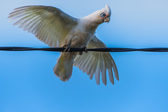 Bird on a wire - Long-billed Corella with wings outstretched (Merrillie) Tags: aerobics woywoy nature australia corella wire newsouthwales animal nsw springtime spring wild wildlife feathers morning longbilledcorella bird red outdoors wings fauna centralcoast showingoff matingseason
