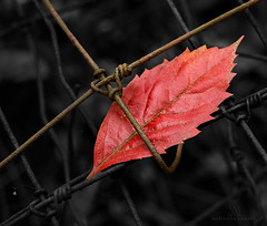 Hanging On! (marianna armata) Tags: red leaf hanging hands holding fence iron rusty wire mariannaarmata