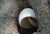 Silkkituppisieni - Volvariella bombycina - Silky sheath (Henri Koskinen) Tags: silkkituppisieni volvariella bombycina silky sheath sieni mushroom helsinki finland kulosaaren kartano rosegill 10092019
