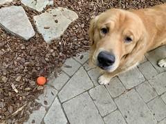 Throw it! (bztraining) Tags: toby golden retriever dogchal bzdogs bztraining odc